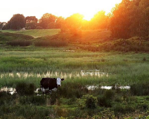 Cow Poster featuring the photograph Cow At Sunset by Kent Andersen