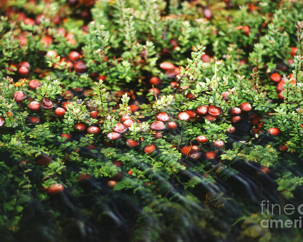 Cranberry Poster featuring the photograph Cranberry Bog by Science Source