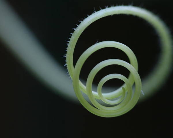 Cucumber Poster featuring the photograph Cucumber Tendril Spiral by Bonnie Boden
