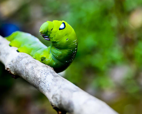 Animal Poster featuring the photograph Cute Caterpiller by Meril Mathew