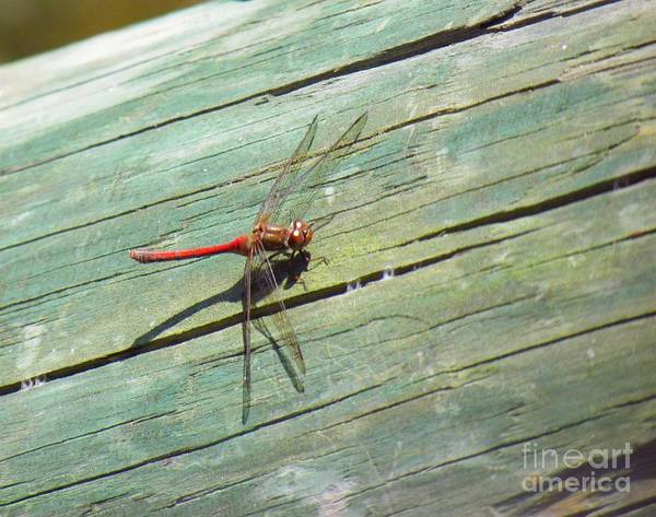 Damselfly Poster featuring the photograph Damselfly ready for liftoff by Rrrose Pix