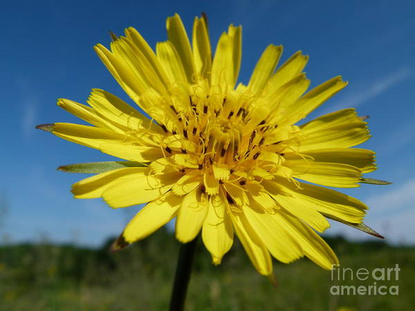 Flower Poster featuring the photograph Dandelion by Christine Stack