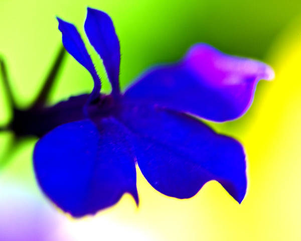 Blue Flower Poster featuring the photograph Deeply Blue by Marie Jamieson