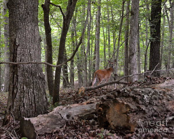 Deer Poster featuring the photograph Deer In The Forest by Carol Bradley