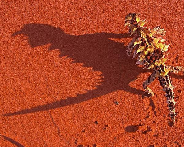 Arid Poster featuring the photograph Desert Adapted Thorny Devil Australia by Paul D Stewart