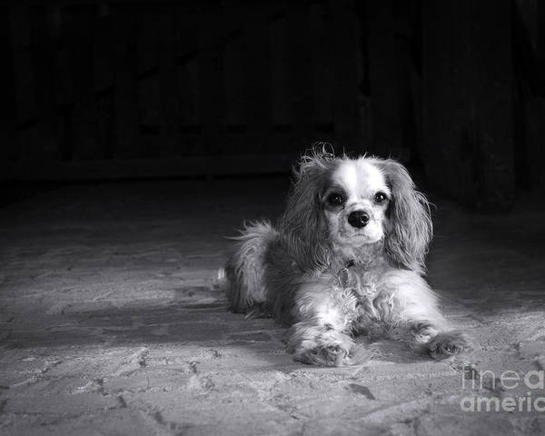 Adorable Poster featuring the photograph Dog Black And White by Jane Rix