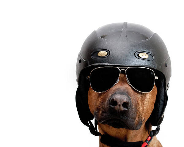 Horizontal Poster featuring the photograph Dog Dressed As Police Man by Ty Foster