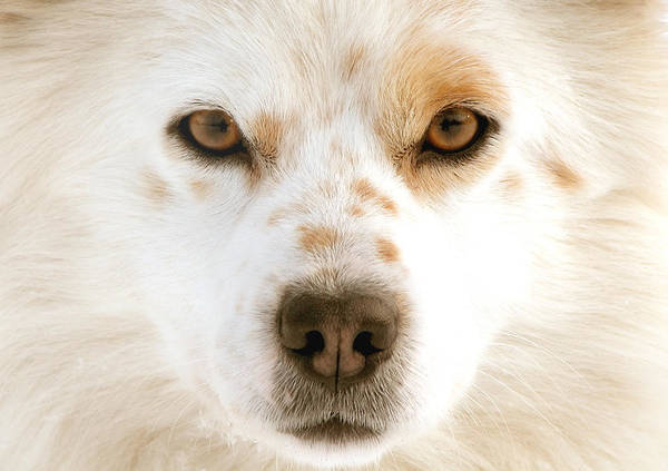 Dog Poster featuring the photograph Dog Eyes by Vaidas Bucys