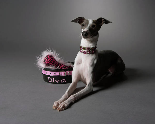 Horizontal Poster featuring the photograph Dog In Sitting Position With Diva Bowl by Chris Amaral