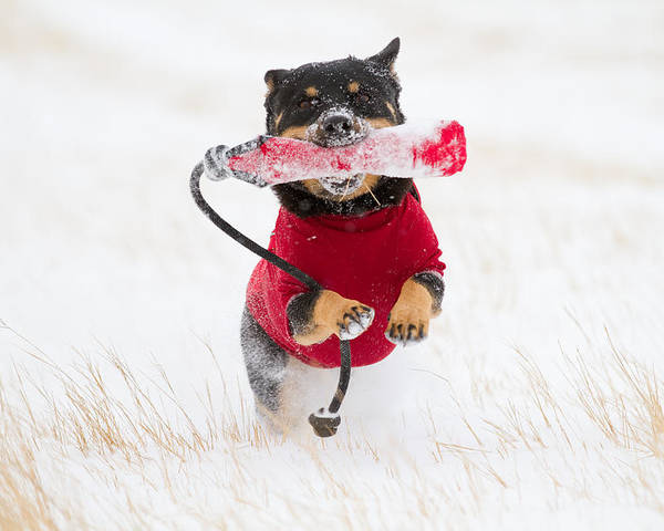 Horizontal Poster featuring the photograph Dog Playing In Snow by Paws on the Run Photography