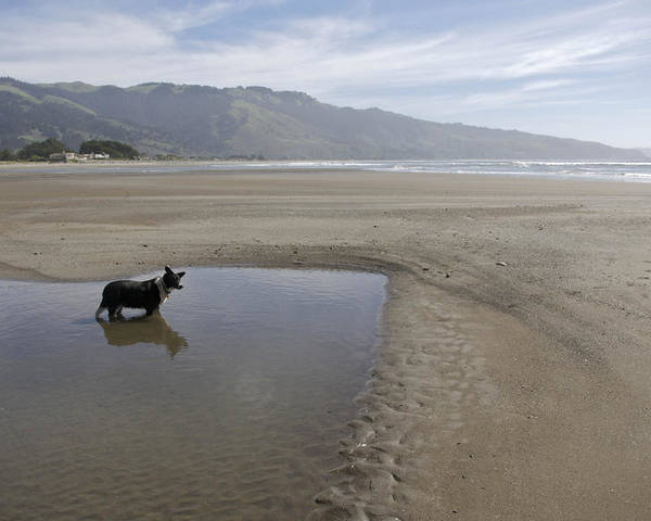 Beach Poster featuring the photograph Dog Playing On Sandy Beach In Water by Keenpress
