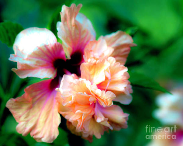 Hibiscus Poster featuring the photograph Double Peach Hibiscus Five by Ken Frischkorn