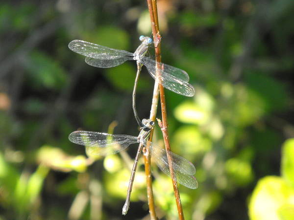 Dragonflies Poster featuring the photograph Dragonflies by Paulina Roybal