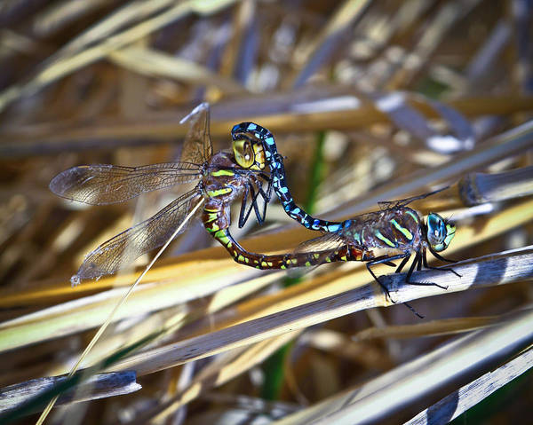 Dragonfly Poster featuring the photograph Dragonfly Love by Steve McKinzie