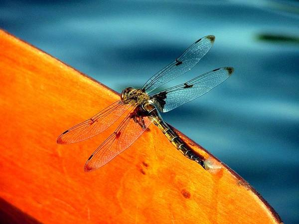 Dragonfly Poster featuring the photograph Dragonfly On A Paddle by Don Downer