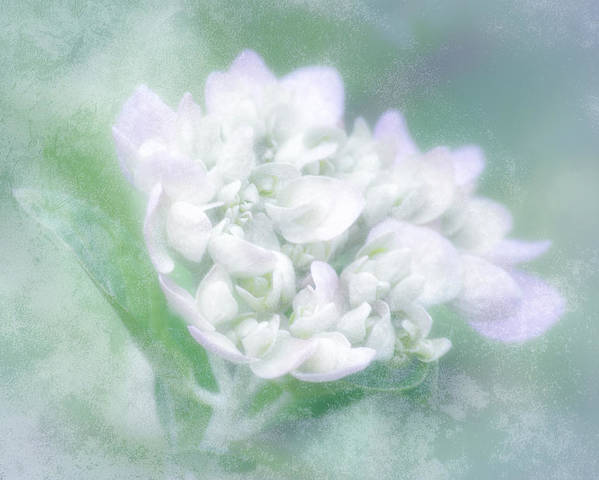 Hydrangea Poster featuring the photograph Dreaming Floral by Brenda Bryant