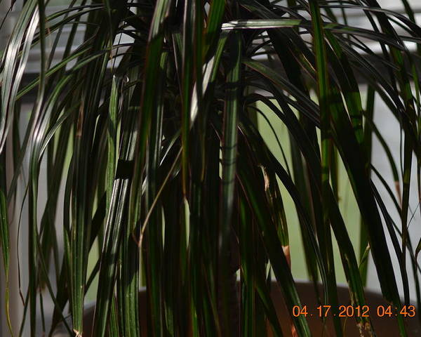 Palm Tree Wana Be Poster featuring the photograph Drooping Tree Leaves by Heidi Frye