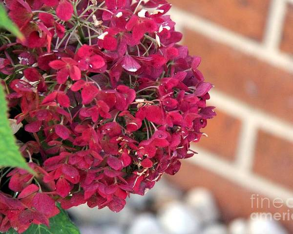 Natural Poster featuring the photograph Dry Hydrangea by Yumi Johnson