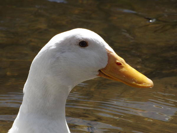 Ducks Poster featuring the photograph Duck Headshot by Pamela Stanford