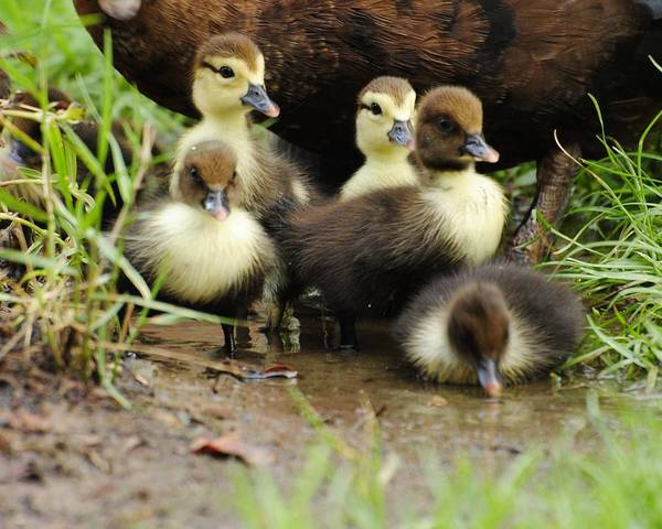 Wildlife Poster featuring the photograph Ducklings by John Blanchard