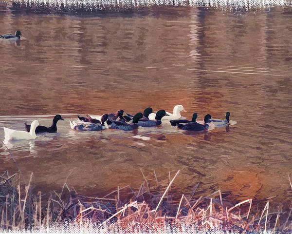 Ducks On Canvas Poster featuring the photograph Ducks On Canvas by Douglas Barnard