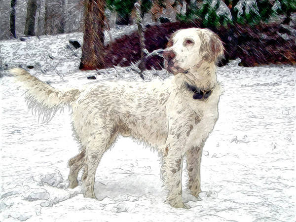 Mixed Media. Mixed Media Photography. Mixed Media Dighta Art. Mixed Media Digtal Photography. White Bird Dog Photography. Bird Dog Digtal Art. Bird Dog In Snow. Hunting Bird Dog Photography. Bird Dog Posing Photography. Bird Dog Pointing Photography. Poster featuring the photograph Duke by James Steele
