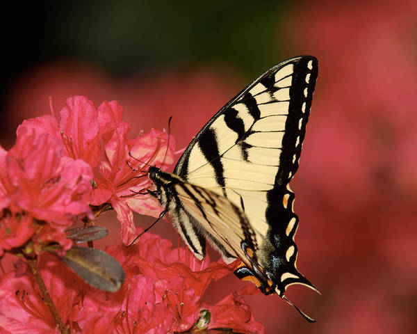 Butterfly Poster featuring the photograph Eastern Yellow Tiger Swallowtail And Azaleas by Lara Ellis