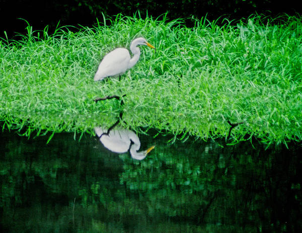 Egret Poster featuring the photograph Egret Wading by Carolyn Smith