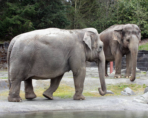 Point Defiance Poster featuring the photograph Elephant - 0009 by S and S Photo