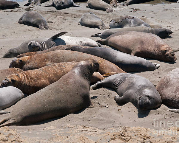 Animals Poster featuring the digital art Elephant Seal Colony On Big Sur by Carol Ailles
