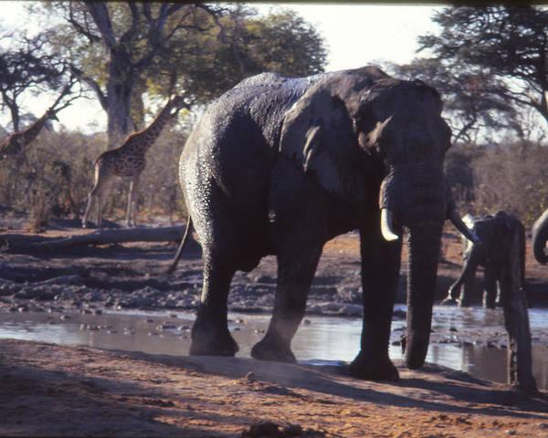 Elelphants Poster featuring the photograph Elephants by Gerrit De Lange
