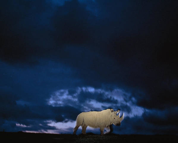Twilight Poster featuring the photograph Endangered Northern White Rhinoceros by Michael Nichols