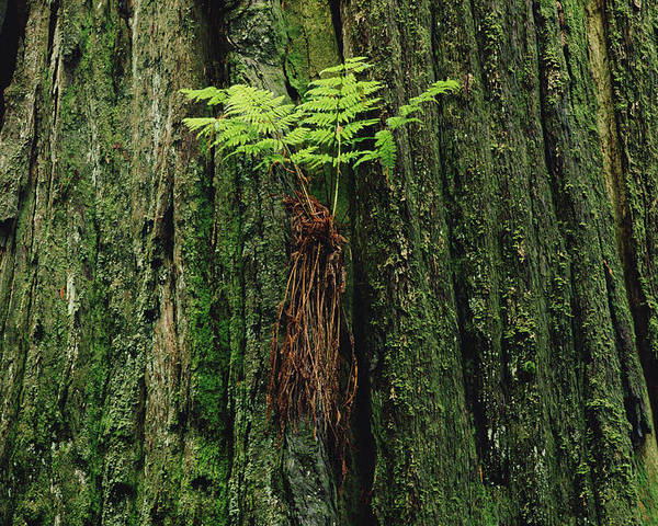 Mp Poster featuring the photograph Epiphytic Fern Growing On Redwood by Gerry Ellis