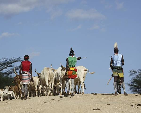 Abyssinia Poster featuring the photograph Ethiopia, Hamer Tribe Herding Cattl by Photostock-israel