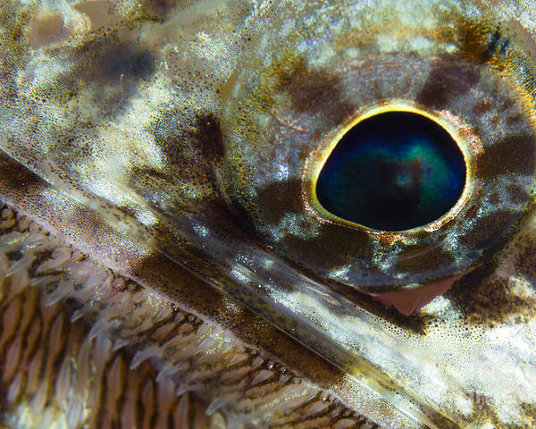 Sea Life Poster featuring the photograph Extreme Close-up Of A Lizardfish by Todd Winner
