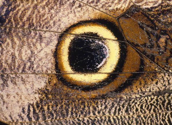 Butterfly Poster featuring the photograph Eyespot On Wing Of Butterfly, Eriphanis Polyxena by Dr Morley Read