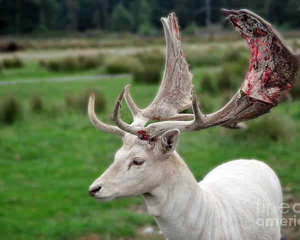 fallow deer losing his felt poster by frank larkin