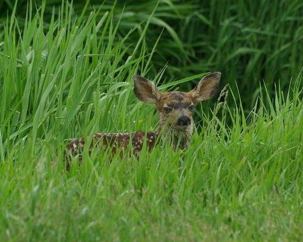 Fawn Poster featuring the photograph Fawn by Michelle Burton