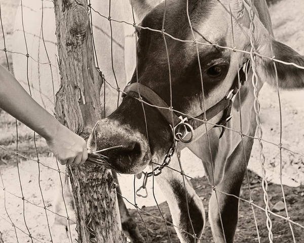 Feeding Cow Poster featuring the photograph Feeding Baby Cow On Farm by Tracie Kaska