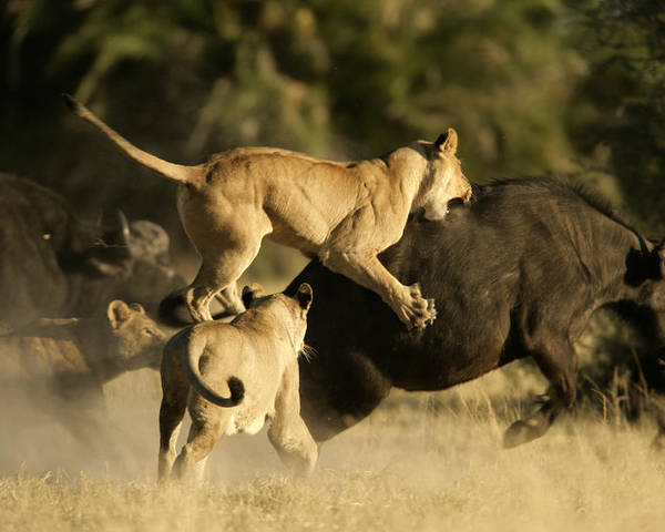 Okavango Delta Poster featuring the photograph Female African Lions Pounce On An by Beverly Joubert