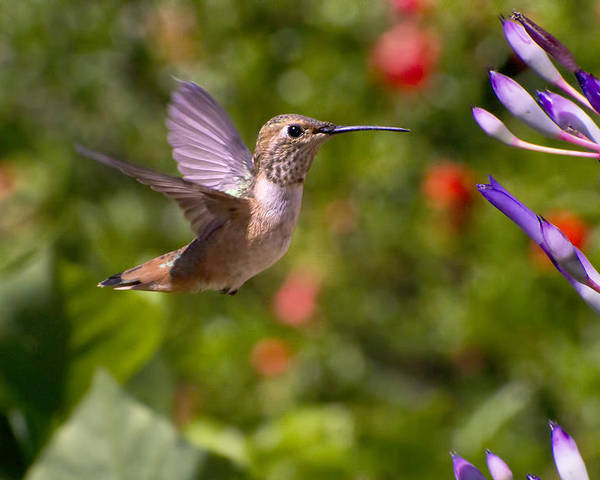 Allen Hummingbird Poster featuring the photograph Female Allen's Hummingbird by Mike Herdering