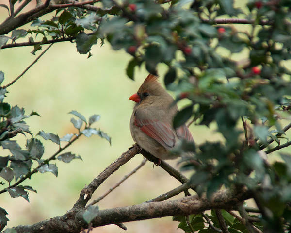 Ansonia Nature Center Poster featuring the photograph Female Cardinal by Ron Smith