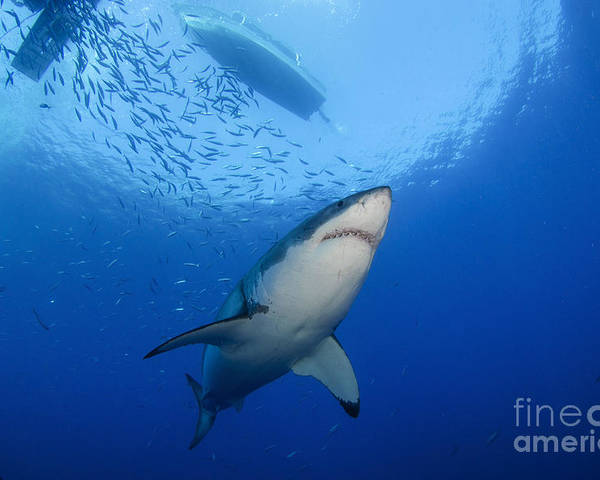 Carcharodon Carcharias Poster featuring the photograph Female Great White, Guadalupe Island by Todd Winner