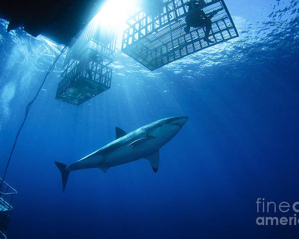 Carcharodon Carcharias Poster featuring the photograph Female Great White With Cages by Todd Winner
