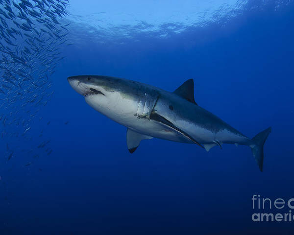 Osteichthyes Poster featuring the photograph Female Great White With Remora by Todd Winner