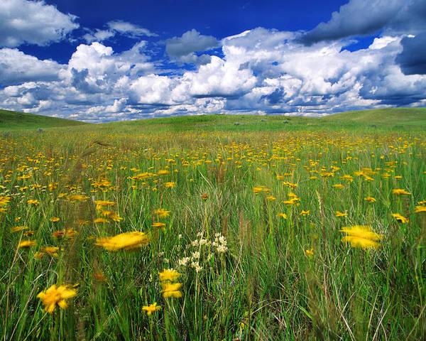 Light Poster featuring the photograph Field Of Flowers, Grasslands National by Robert Postma