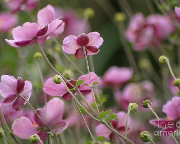 Floral Poster featuring the photograph Field Of Japanese Anemones by Living Color Photography Lorraine Lynch