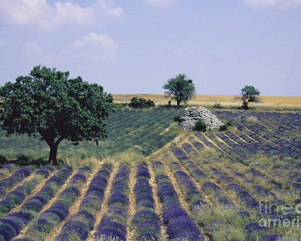The Tourist Trade Poster featuring the photograph Field Of Lavender. Sault. Vaucluse by Bernard Jaubert