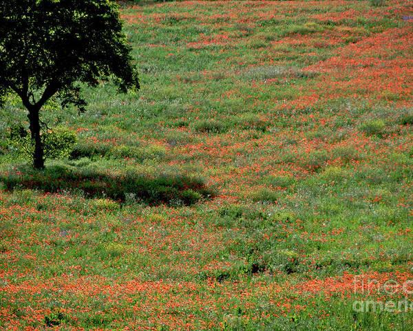 Outdoors Poster featuring the photograph Field Of Poppies. by Bernard Jaubert
