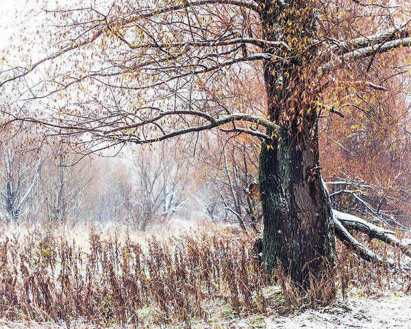 Snow Poster featuring the photograph First Snow. Old Tree by Jenny Rainbow